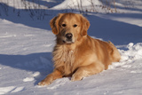 Golden Retriever (Male) Lying in Snow, St. Charles, Illinois, USA Photographic Print by Lynn M. Stone