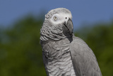 African Gray Parrot (Psittacus Erithacus) Stampa fotografica di Lynn M. Stone