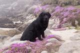 Black Labrador Retriever Sitting in Purple Mat Flowers on Coastal Rocks, Pacific Grove Photographic Print by Lynn M. Stone