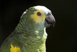 Green and Yellow Parrot Stampa fotografica di Lynn M. Stone