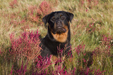 Flat-Coated Retriever in Glasswort (Red) and Salt Grass in Salt Marsh, Waterford Photographic Print by Lynn M. Stone