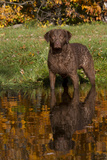 Chesapeake Bay Retriever in Autumn, Harrisville, Rhode Island, USA Photographic Print by Lynn M. Stone