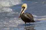 Eastern Brown Pelican (Pelecanus Occidentalis Carolinensis) Loafing at the Seashore, Gulf of Mexico Papier Photo par Lynn M. Stone