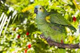 Blue-Fronted Amazon Parrot (Amazona Aestiva) Stampa fotografica di Lynn M. Stone