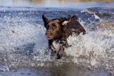 Chocolate Labrador Retriever Splashing into Pond, Madison, Wisconsin, USA Photographic Print by Lynn M. Stone