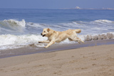 Golden Retriever Male Goes Airborne While Running Along Sandy Beach, Southern California, USA Photographic Print by Lynn M. Stone