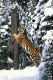 Tiger Sharpening its Claws on Old Spruce Tree Trunk, in Snowy, Spruce Forest (Captive Animal) Photographic Print by Lynn M. Stone