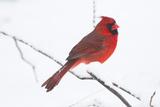 Northern Cardinal (Cardinals Cardinalis) Papier Photo par Lynn M. Stone