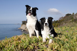 Border Collies in Ice-Plant on Bluff Overlooking Pacific Ocean, Goleta, California, USA Photographic Print by Lynn M. Stone