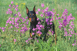 Doberman Pincher Standing in Purple Flox, Geneva, Illinois, USA Photographic Print by Lynn M. Stone