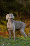 Weimaraner Standing by Pond in Autumn, Colchester, Connecticut, USA Photographic Print by Lynn M. Stone