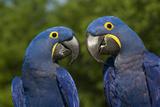 Hyacinth Macaw (Amnolorhynchus Hyacinthinus) Photographic Print by Lynn M. Stone