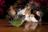 Persian Cat Watching Conure on Table, Poinsettias in Background, Carpentersville, Illinois, USA Photographic Print by Lynn M. Stone