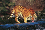 Tiger Drinking from Fast-Flowing Stream (Captive Animal) Photographic Print by Lynn M. Stone