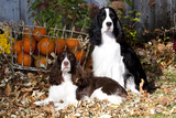 Portrait of a Pair of Show-Type English Springer Spaniels Photographic Print by Lynn M. Stone