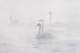 Trumpeter Swan(S) (Cygnus Buccinator) in Winter Morning Mist, on Mississippi River, Minnesota, USA Impressão fotográfica por Lynn M. Stone