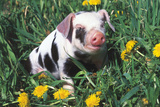 Spotted Mixed-Breed Piglet Sits in Grass and Dandelions, Freeport, Illinois, USA Fotodruck von Lynn M. Stone