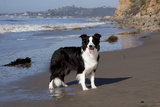 Border Collie Standing on Seashore, Santa Barbara, California, USA Photographic Print by Lynn M. Stone