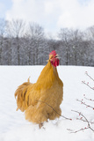 Orpington (Buff Color) Rooster Crowing in Snow-Covered Farm Field, Higganum Photographic Print by Lynn M. Stone