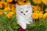 Persian Kitten (Baby Doll Type) in Red Basket, Harvard, Illinois, USA Photographic Print by Lynn M. Stone