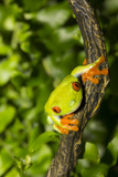 Red-Eyed Treefrog (Agalchnis Callidryas) Photographic Print by Lynn M. Stone