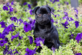 Pug in Fall Flowers, Geneva, Illinois, USA Photographic Print by Lynn M. Stone