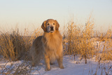 Male Golden Retriever Standing on Snow, Madison, Connecticut, USA Photographic Print by Lynn M. Stone
