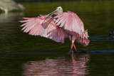 Sub-Adult Roseate Spoonbill (Platalea Ajaja) Stretching its Wings in Shallow Lake, Sarasota County Papier Photo par Lynn M. Stone