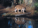 Florida Panther (Felis Concolor) Walking Past Pond in South Florida Woodland, Florida, USA Photographic Print by Lynn M. Stone