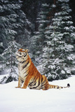 Tiger Sniffing Air, in Snow, at Edge of Evergreen Forest in Falling Snow Photographic Print by Lynn M. Stone