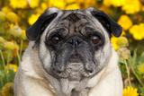 Pug in Fall Flowers, Geneva, Illinois, USA Photographic Print by Lynn M. Stone