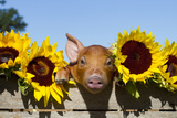 Mixed-Breed Piglet in Wooden Box with Sunflowers, Maple Park, Illinois, USA Fotografisk tryk af Lynn M. Stone