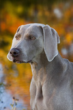 Portrait of Weimaraner Standing by Pond in Autumn, Colchester, Connecticut, USA Photographic Print by Lynn M. Stone