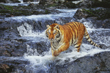 Tiger Stepping Carefully Through Pool in Rocky Stream Photographic Print by Lynn M. Stone