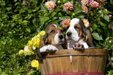 Basset Basket- Basset Hound Pups in Peach Basket, Flowers, Burlington, Wisconsin, USA Photographic Print by Lynn M. Stone