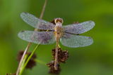 Ruby Meadowhawk [Dragonfly] (Sympetrum Rubicundulum) Female Covered in Dew Photographic Print by Lynn M. Stone