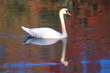 Mute Swan (Cygnus Olor) Swimming in Red Reflection from Sugar Maples in Autumn, Killingworth Impressão fotográfica por Lynn M. Stone