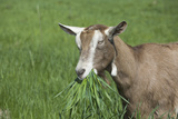 Toggenburg Dairy Goat(S) Doe in Spring Pasture, East Troy, Wisconsin, USA Photographic Print by Lynn M. Stone
