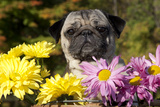 Female Pug in an Old Peach Basket with Chrysanthemums, Rockford, Illinois, USA Photographic Print by Lynn M. Stone