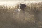 Wiemaraner Standing in Dewy Meadow Grass and Spiderwebs in Mid-October, Colchester Fotoprint van Lynn M. Stone