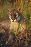 Florida Panther Lying in Sawgrass Photographic Print by Lynn M. Stone