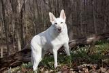White German Shepherd Dog (Male) Photographic Print by Lynn M. Stone