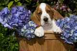 Basset Hound Pup in Flowers, Burlington, Wisconsin, USA Photographic Print by Lynn M. Stone