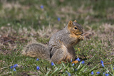 Eastern Gray Squirrel in Spring, Geneva, Illinois, USA Photographic Print by Lynn M. Stone