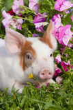 Spotted Piglet in Grass and Pink Petunias, Dekalb, Illinois, USA Photographic Print by Lynn M. Stone