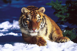 Tiger on Snow with Spruce Trees in Background (Captive Animal) Stampa fotografica di Lynn M. Stone
