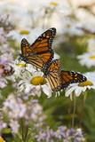 Monarch Butterfly (Danaus Plexippus) on Asters and Montauk Daisies in October, Madison Photographic Print by Lynn M. Stone