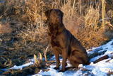 Chesapeake Bay Retriever Sitting in Marsh Grass, Late Afternoon, Southern Wisconsin, USA Photographic Print by Lynn M. Stone