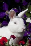 White, Blue-Eyed Polish Breed Rabbit in Petunias, Etc., Elburn, Illinois, USA Photographic Print by Lynn M. Stone