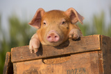 Piglet in Antique Wooden Egg Box, Findlay, Ohio, USA Photographic Print by Lynn M. Stone